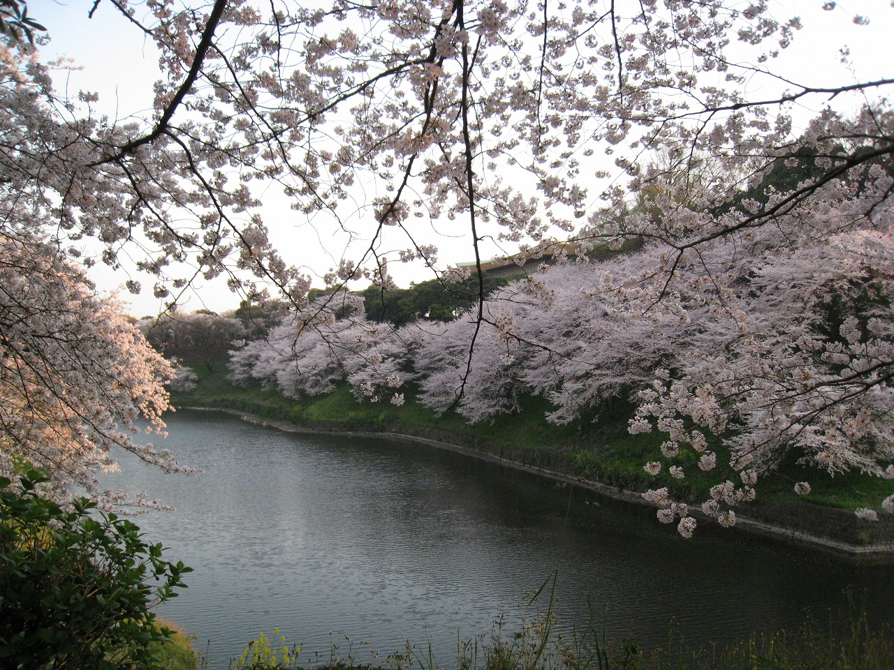 東京都千代田区皇居に咲く桜